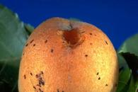Earwig feeding damage on apricot.