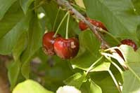 Earwig feeding causes shallow, irregular holes in cherry fruit.