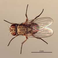 Canyon fly, Fannia conspicua.