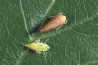 Dorsal view of nymph and adult of Flor's leafhopper, Fieberiella florii, on leaf.