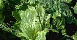 Damage to lettuce leaves