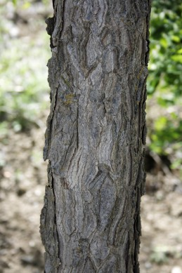 bark of coffee tree