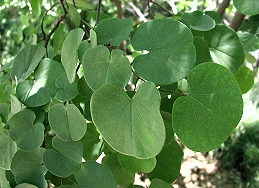 Leaves of western redbud