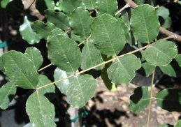 Leaves of carob tree