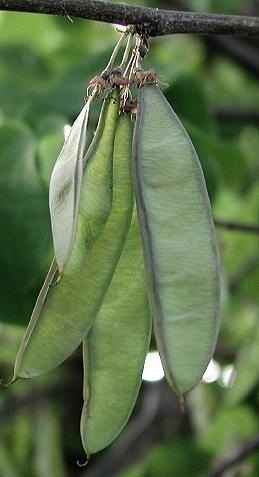 Seed pods of eastern redbud