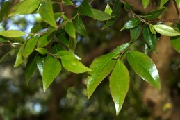Foliage of xylosma