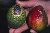 Avocado fruit with a black and yellow lesion from wildland fire (left) and fruit with black, red, and yellow discoloration from sunburn (right).