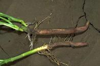 Fusarium root rot of bean.