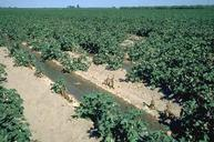 Damage to cotton field caused by the Fusarium wilt/root knot nematode complex.