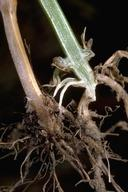 The crown and lower stem of plant with common root rot; a healthy stem is on the right.