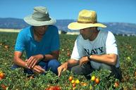 Photo of Gene Miyao and Michael Cahn monitor a tomato field