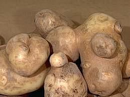Knobby tubers developing on potato