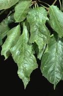 Leaves have irregular, deeply indented margins and are distorted. Distorted areas are often light green or mottled.