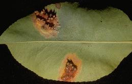 Pustules on pear leaves