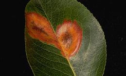 Rust spores on upper leaf surface