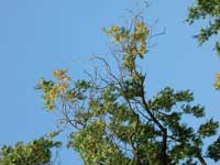 Flagging and branch dieback