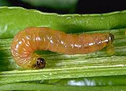 Oriental fruit moth larva