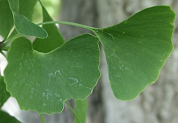 Leaves of Ginkgo