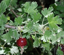 Berries of foothill gooseberry