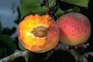 Two fruit, one with flesh pecked away exposing pit.