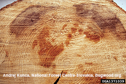 Reddish decay in heartwood of an Heterobasidion-infected spruce cut in cross-section.