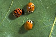 Three color forms of adult multicolored Asian lady beetles, Harmonia axyridis.