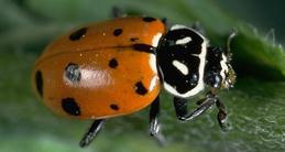 The convergent lady beetle