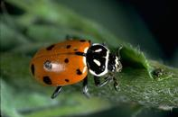 Convergent lady beetle adult