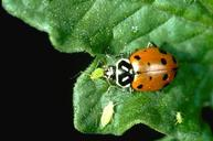Adult convergent lady beetle feeding on aphids.