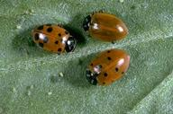 Adult convergent lady beetle, Hippodamia convergens.