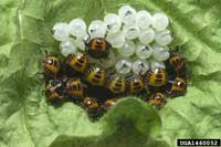 Newly hatched nymphs.