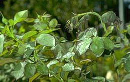 Wilting of foliage due to horntail feeding
