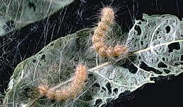 Fall webworms and chewing damage
