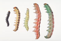 Color variations of tomato fruitworm (also called corn earworm and cotton bollworm).