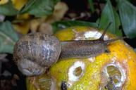 Figure 1. Brown garden snail.
