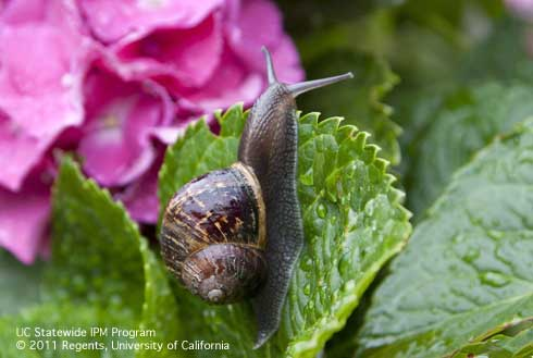 Brown garden snail.