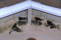 Adult cliff swallows building nests.