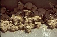 Mud nests made by a colony of cliff swallows.
