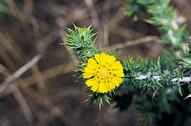 Parry's tarweed
