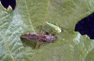 Glassy-winged (below) and blue-green sharpshooter adults on grape leaf.