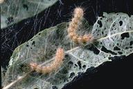 Fall webworm and damage inside a silken tent.