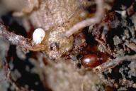 Photo of sugarbeet cyst nematode