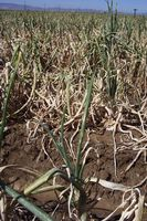 Onion field heavily infected with Iris yellow spot virus.