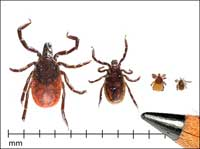 Parasitic life stages of the western blacklegged tick.