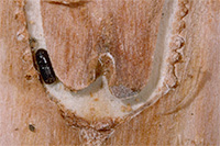 Ips bark beetle