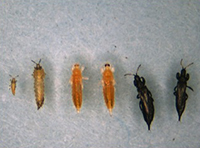 Life stages from right: first instar larva, second instar larva, prepupa, pupa, adult female, adult male.