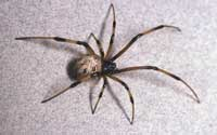 Mature female brown widow spider.