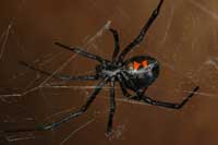 Female western black widow spider.