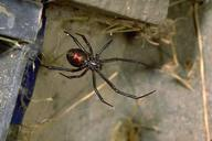 Adult black widow spider showing the red hourglass mark on underside of abdomen.