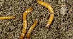 Sugarbeet wireworm larvae